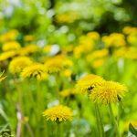 Organic-Weed-Control